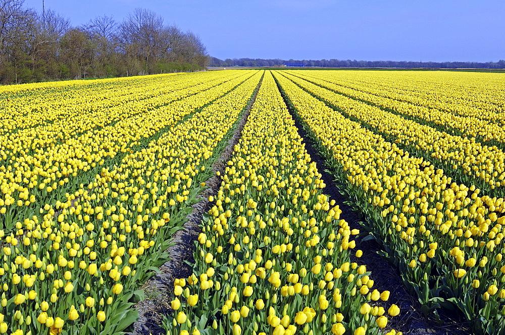 Field of Tulips (Tulipa spec.) near Lisse, Netherlands, Europe