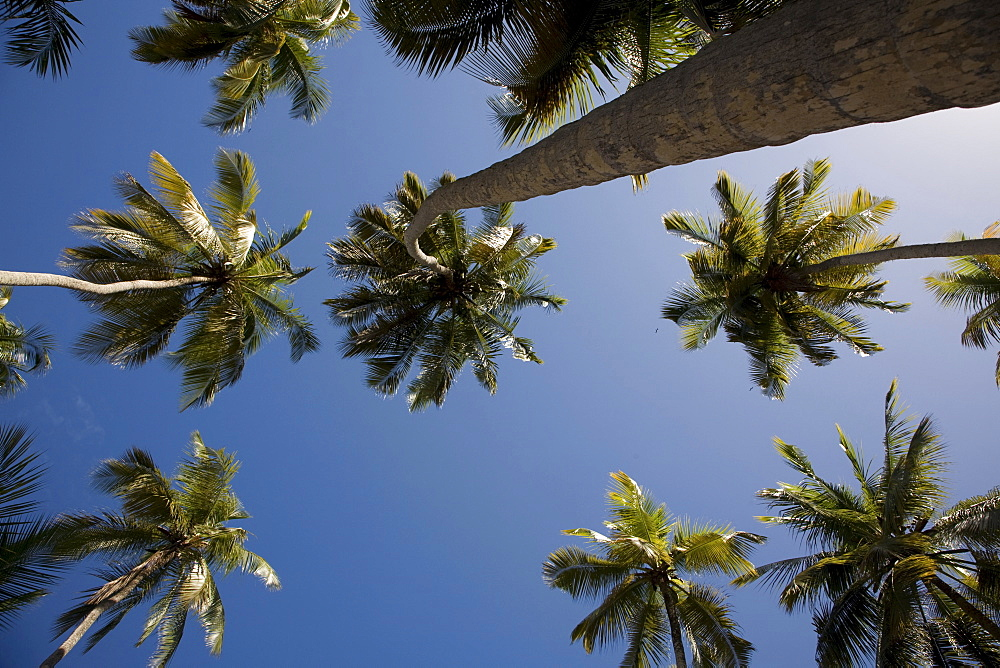 Worm's-eye view of Coconut Palms (Cocos nucifera), Playa Medina Beach, Caribbean, Sucre, Venezuela, South America