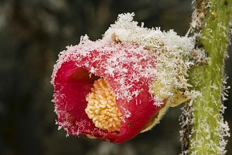 Common Hollyhock (Alcea rosea), frost-covered in wintertime, ice crystals
