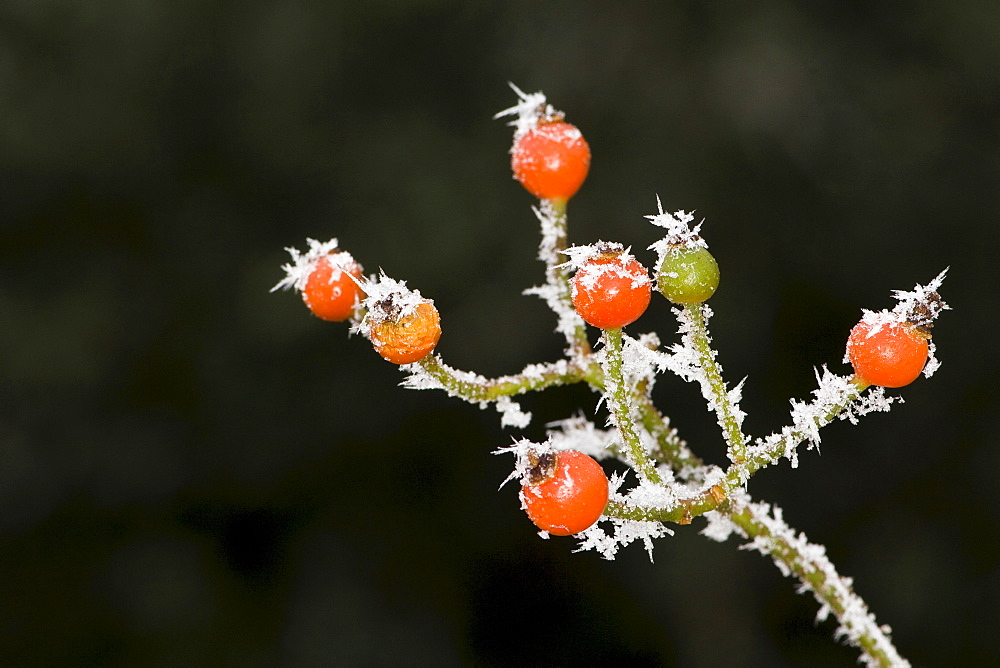 Rose shrub fruit, frost-covered during wintertime