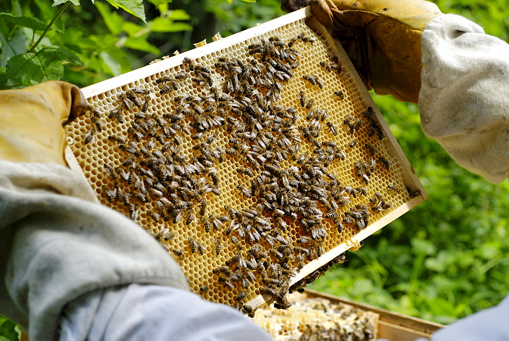 Beekeeper checking honeycomb for honey production