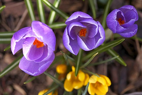 Crocus (Crocus), first sign of spring in a garden, Kaernten, Austria, Europe