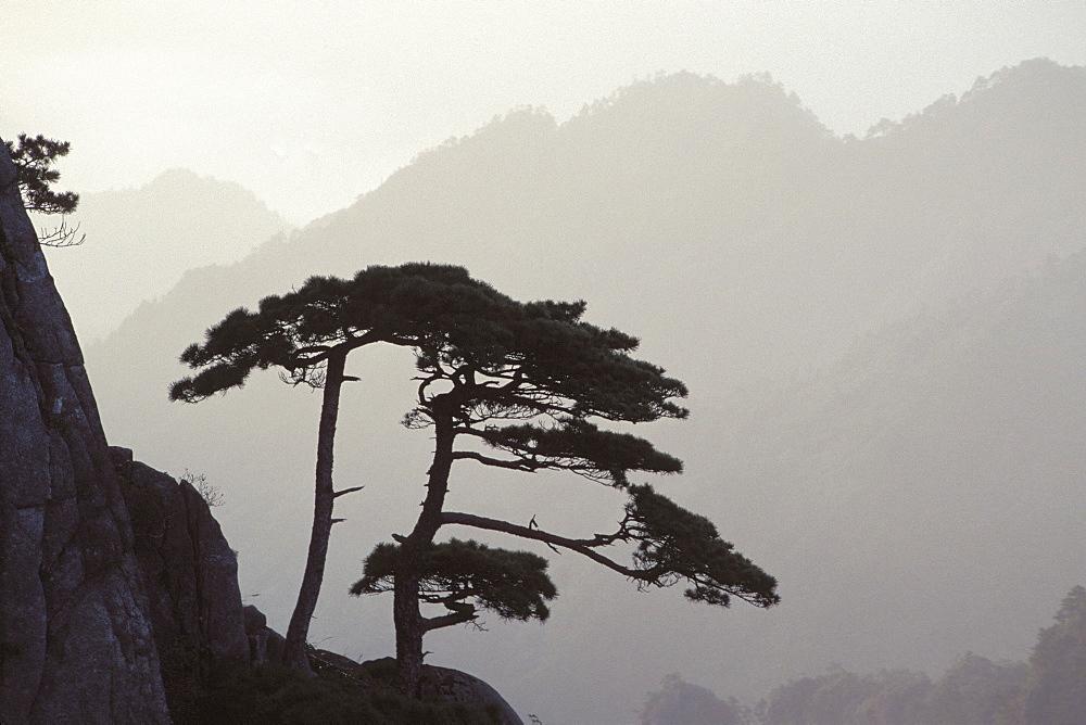 Mountain pine (Pinus mugo), Yellow Mountains, China, Asia