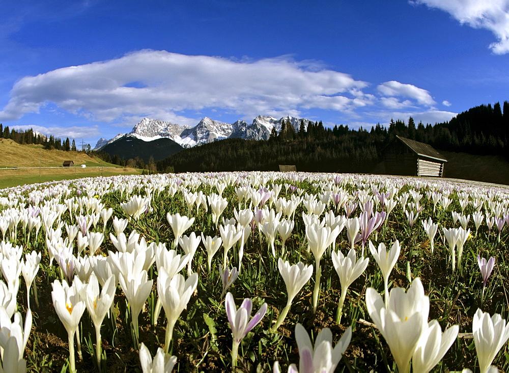 Crocus meadow near Klais in spring, Karwendel mountain range, Upper Bavaria, Germany