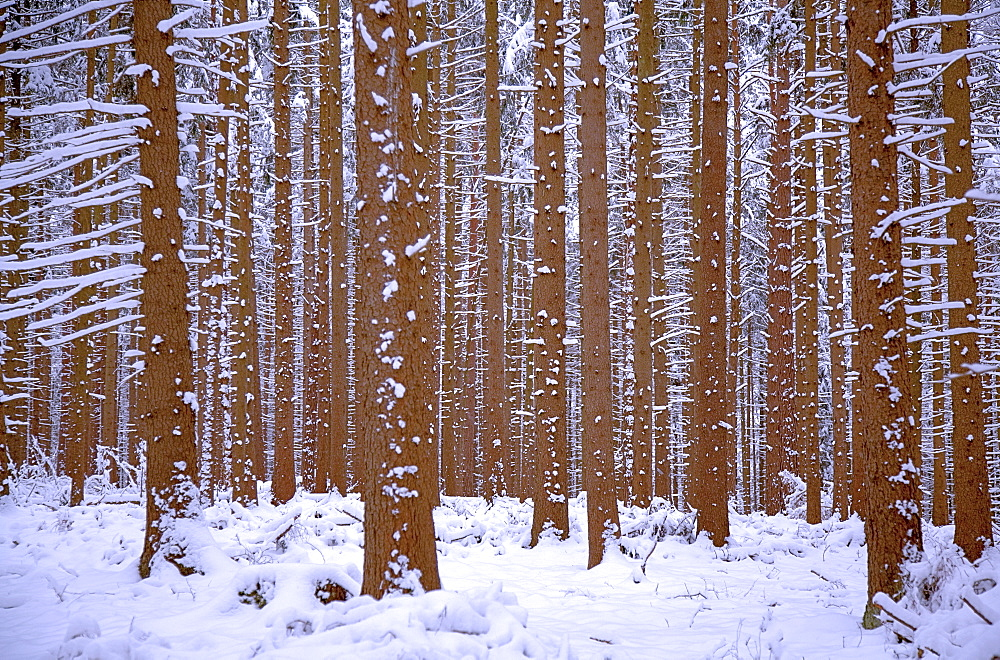 Fir forest in winter with snow, Weilheim, Upper Bavaria, Bavaria, Germany, Europe