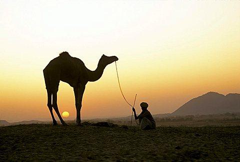 Silhouette of camel ( Camelus dromedarius ) and man against sunset sky - Pushkar Camel Fair - Pushkar - Rajasthan - India - 832-2978
