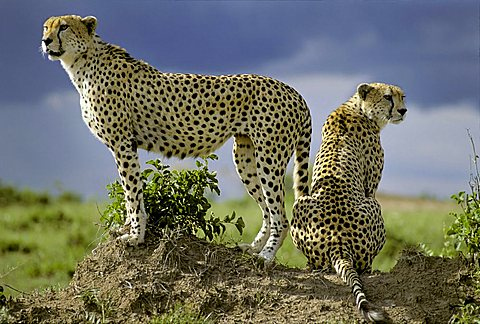 Two Cheetahs ( Acinonyx jubatus ) looking out from behind on a little hill - Masai Mara - Kenya, Africa