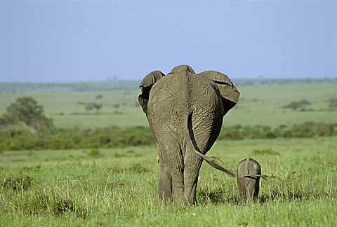 Elephant ( Loxodonta africana ) with calf from behind, Masai Mara National Reserve, Kenya, Africa