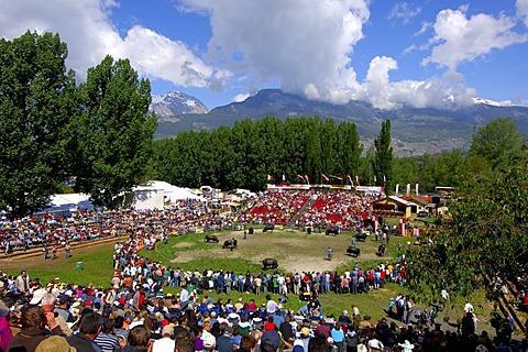 Swiss cow fighting, cow fighting arena Aproz, Valais, Switzerland