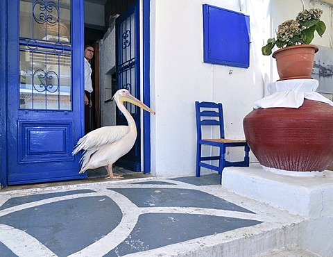 Pelican, tourist attraction in Mykonos City, standing in front of an open blue door with a man looking out, Mykonos, Cyclades, Greece, Europe