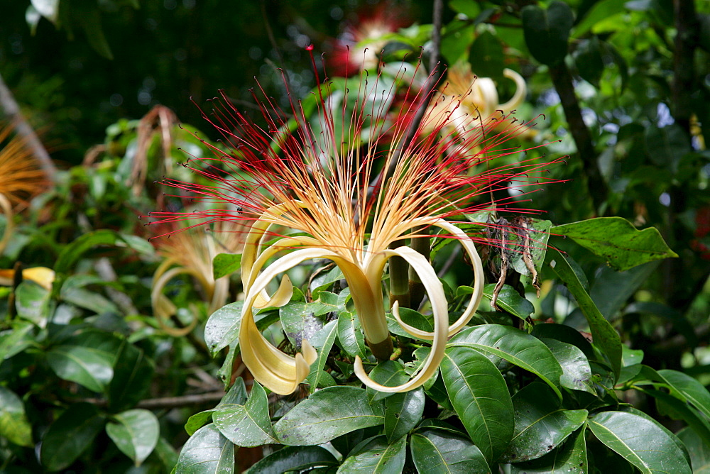 River laandscape, tropical flower in the rainforest, Guyana, South America