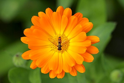 Marigold - blossom with hover fly - medicinal plant (Calendula officinalis) (Syrphus spec.)