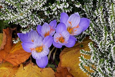 Flowering autumn-crocusses with heather (Crocus pulchellus) and (Calluna)
