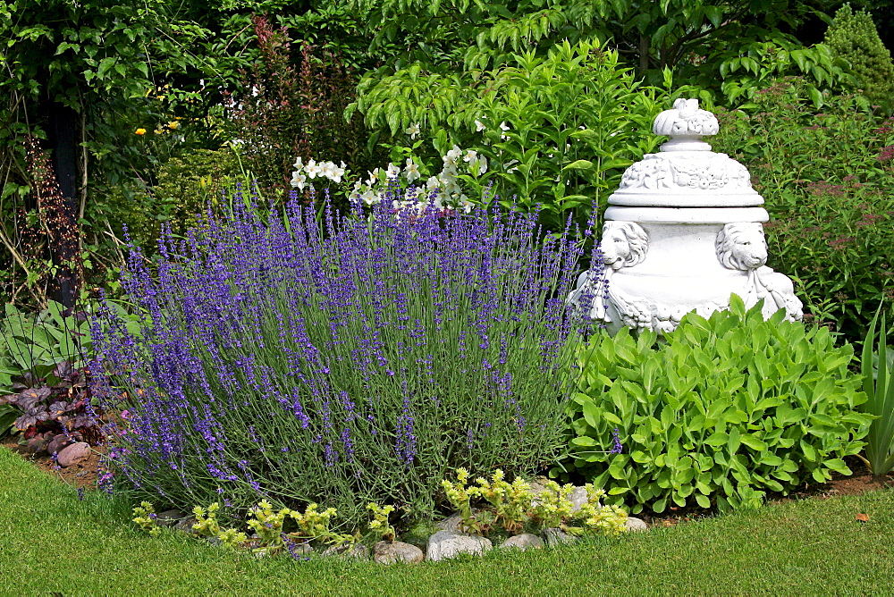 English lavender in a garden (Lavandula angustifolia)