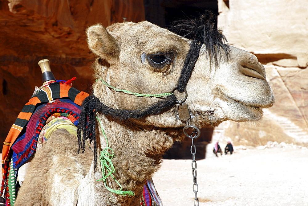 Dromedary Camel (Camelus dromedarius), in the ancient Nabataean rock city of Petra, Jordan, Middle East, Asia