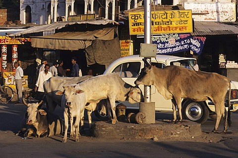 Holy cows, Udaipur, India
