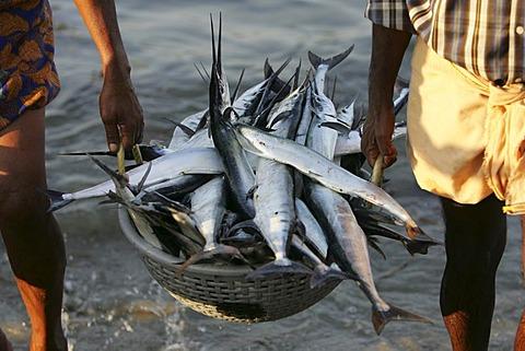 Fishermen bring in their fishes, Cochin, Kerala, India