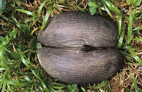 SYC, Seychelles, Praslin : Coco de Mer coconut, . VAllee de Mai National Park. |