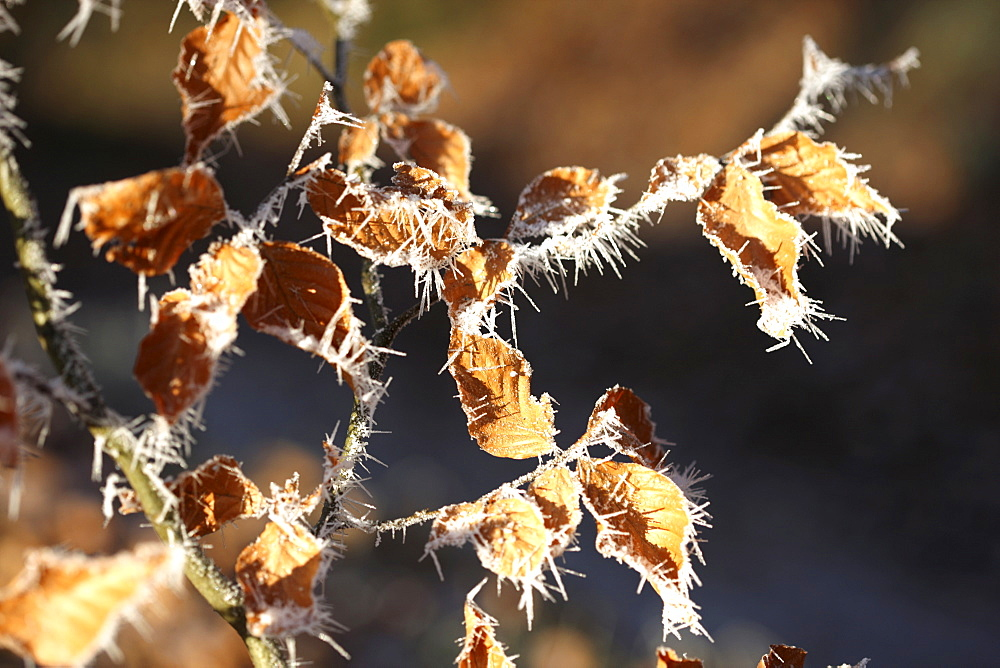 Ice crystals, frost-covered leaves in Germany, Europe
