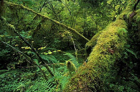 Rain forest in Olympic National Park, Washington, USA