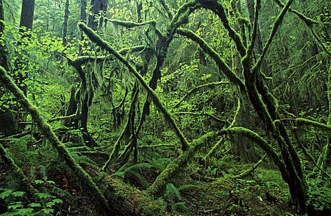 Rainforest in the Olympic National Park, Washington State, USA