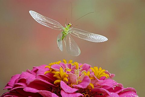 Green Lacewing (Chrysoperia carnea), insect, Saxony-Anhalt, Germany
