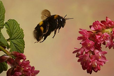 Buff-tailed Bumblebee - 832-3191