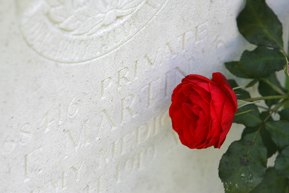 Rose between gravestones, english military cemetery, Cologne, North Rhine-Westphalia, Germany