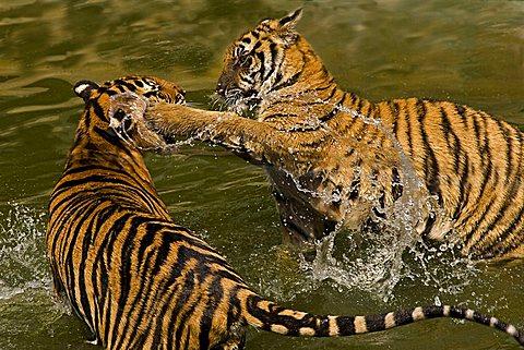 Two tigers (Panthera tigris) fighting in water