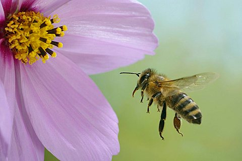 flying western honey bee (Apis mellifera)