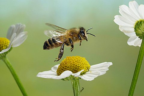 Western honey bee (Apis mellifera) - 832-3239