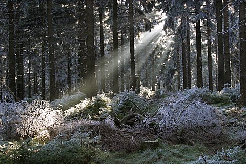 Sun beams in winter forest with hoarfrost, Taunus, Hesse, Germany