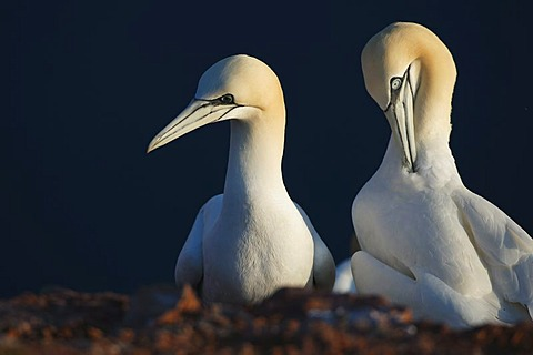 Northern gannet (Sula bassana) at the nest
