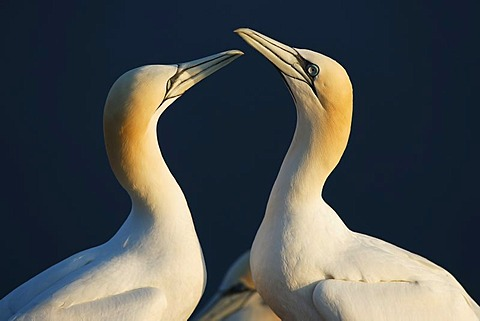 Northern gannet (Sula bassana), courtship
