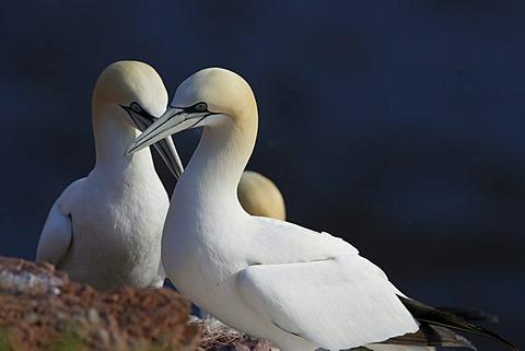 Northern gannet (Sula bassana)