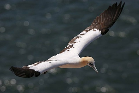 Northern gannet (Sula bassana) flying