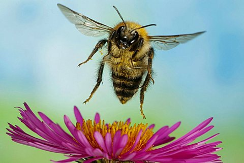 Bumblebee (Bombus pascuorum) - 832-3258