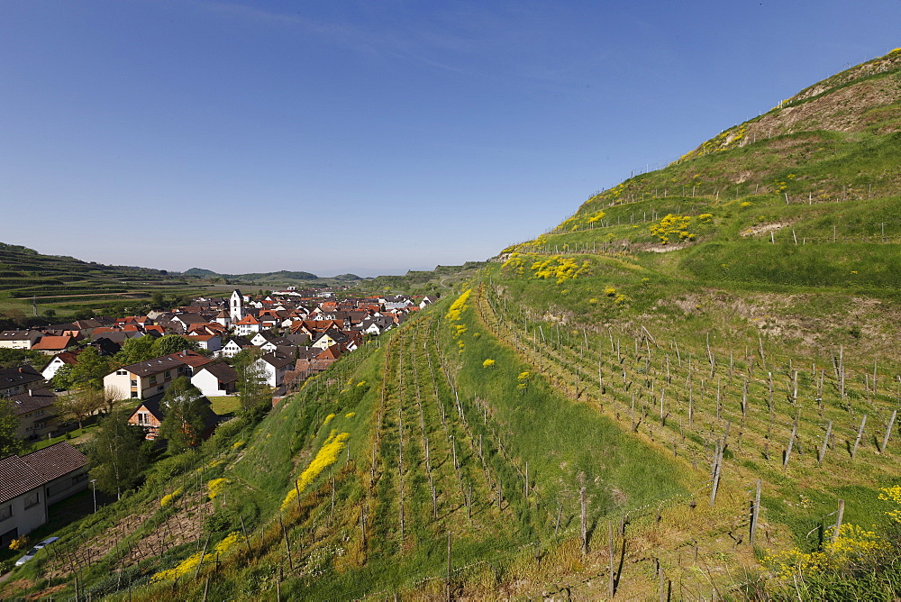 Landscape in Kaiserstuhl with a view of the vineyards in Oberbergen, Kaiserstuhl, Baden-Wuerttemberg, Germany, Europe