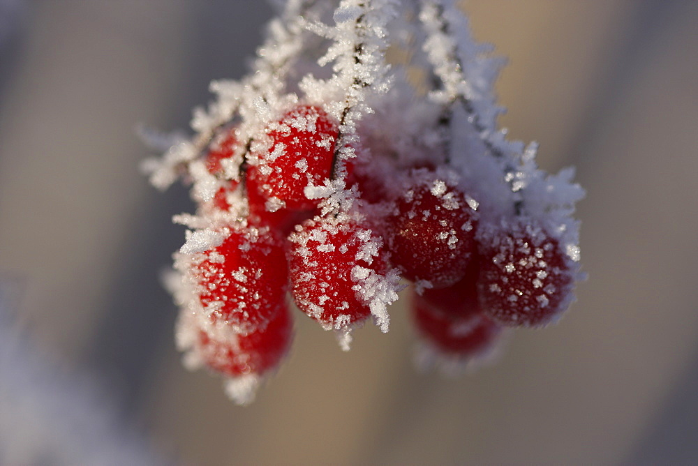 Umbel of red berries covered with frost