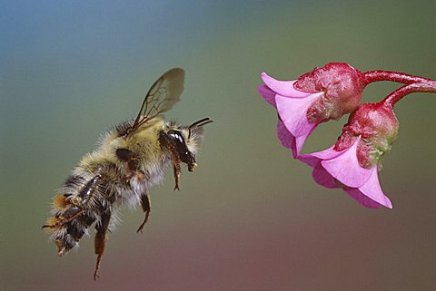 Shrill Carder Bee (Bombus sylvarum) - 832-3272