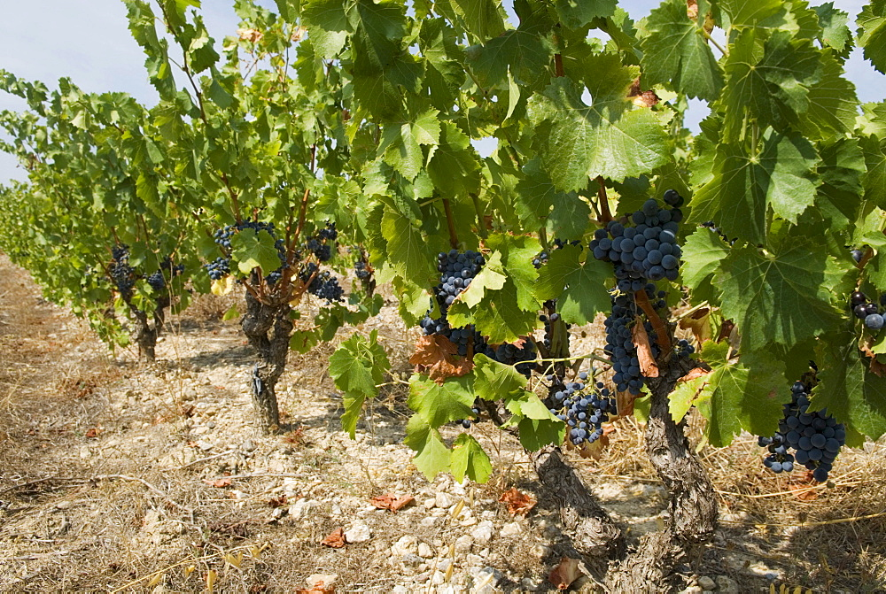 Bunches of dark red grapes on vines in the Corbieres region, Departement Aude, France, Europe