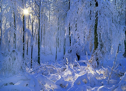 Deeply snow covered forest with winter sun shining through Schwaebische Alb, Baden-Wuerttemberg, Germany