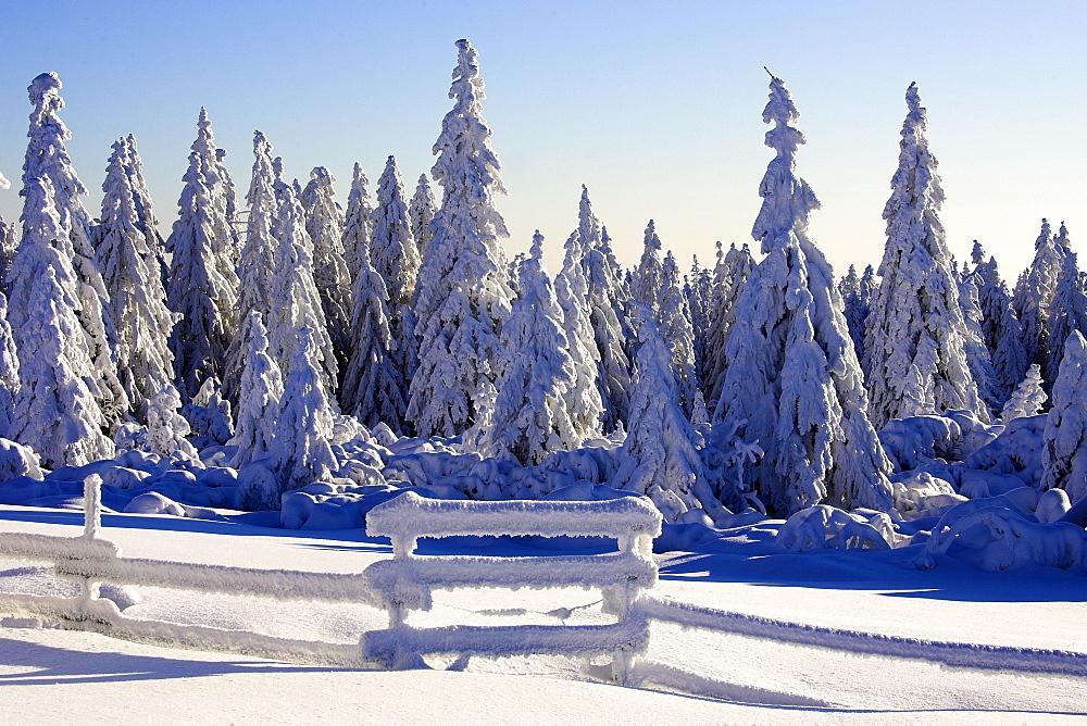 Snow covered trees, Schliffkopf, Buehlertal, Schwarzwaldhochstrasse, north black forest, Baden-Wuerttemberg, Germany