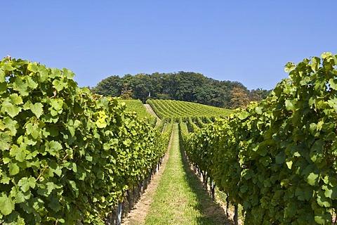 Vines on a vineyard with grapes, Rheingau, Hesse, Germany
