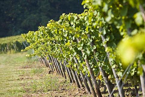 Grape-vines in vineyard, Rheingau (Rhine District), Hesse, Germany