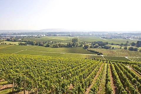 Vineyards of Johannisberg Castle, Rheingau (Rhine District), Hesse, Germany