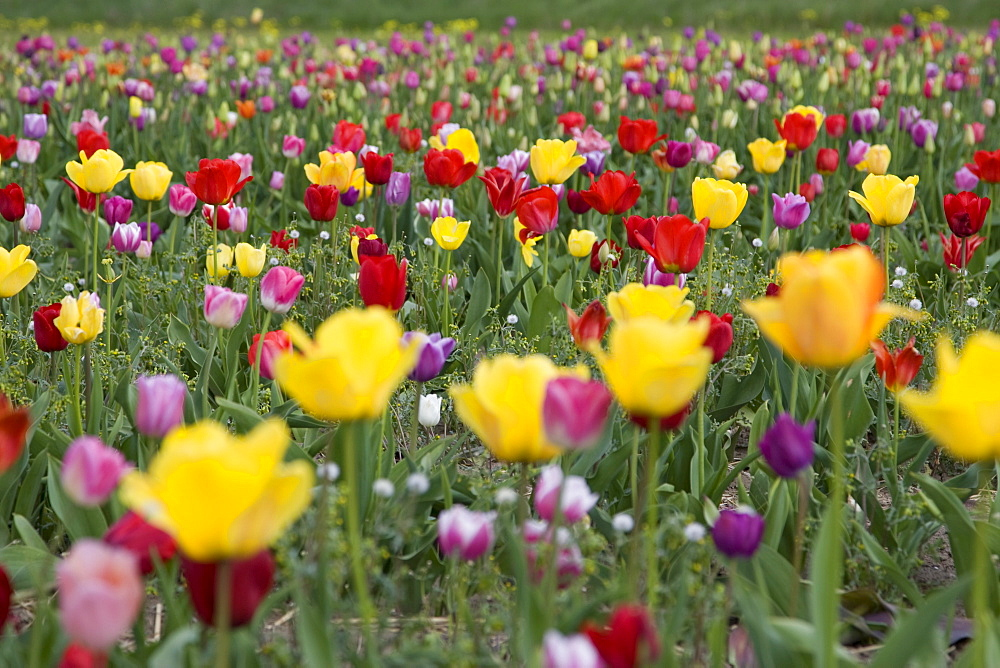 Field of different coloured tulips (Tulipa spec.), Bergstrasse mountain route, Hesse, Germany, Europe