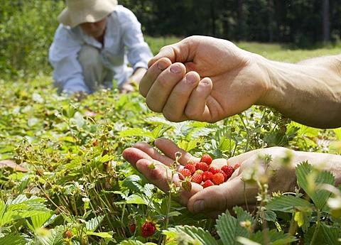Workers of a company producing natural remedies harvesting wild strawberries for the production of remedies