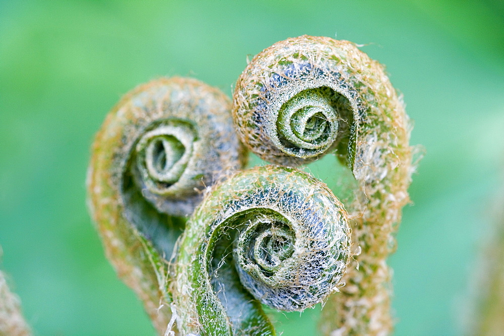 Three spiral formed shoots of the Hart's-tongue Fern (Asplenium scolopendrium) in spring, medicinal plant