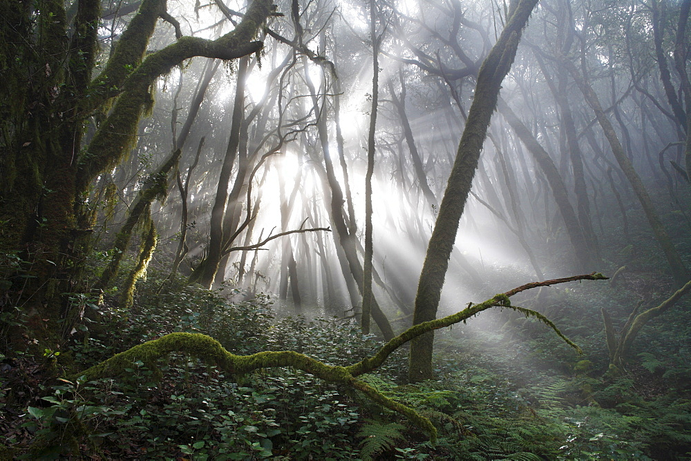 Garajonay National Park, laurel forest, laurisilva, La Gomera, Canary Islands, Spain - 832-336875